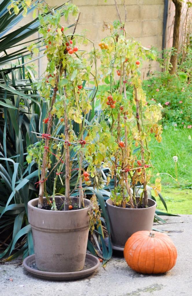 pieds de tomates cerises citrouille tomatato pomme de terre jardin