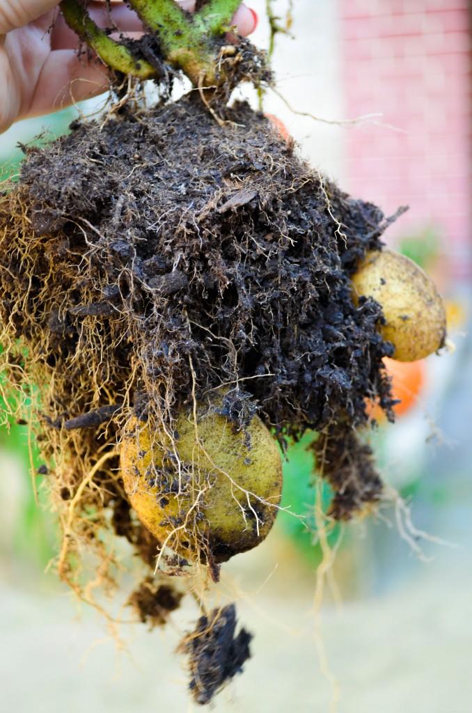 recolte pommes de terre tomatato jardin en pot