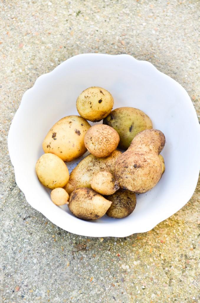 recolte pommes de terre tomatato patate tomate