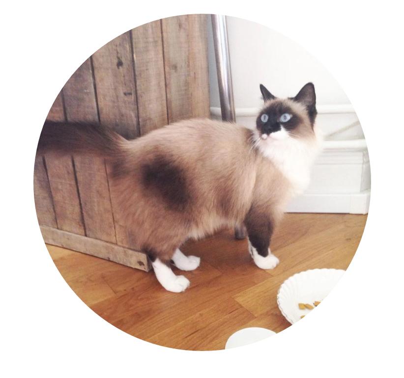 dinah chat croisee sacre de birmanie